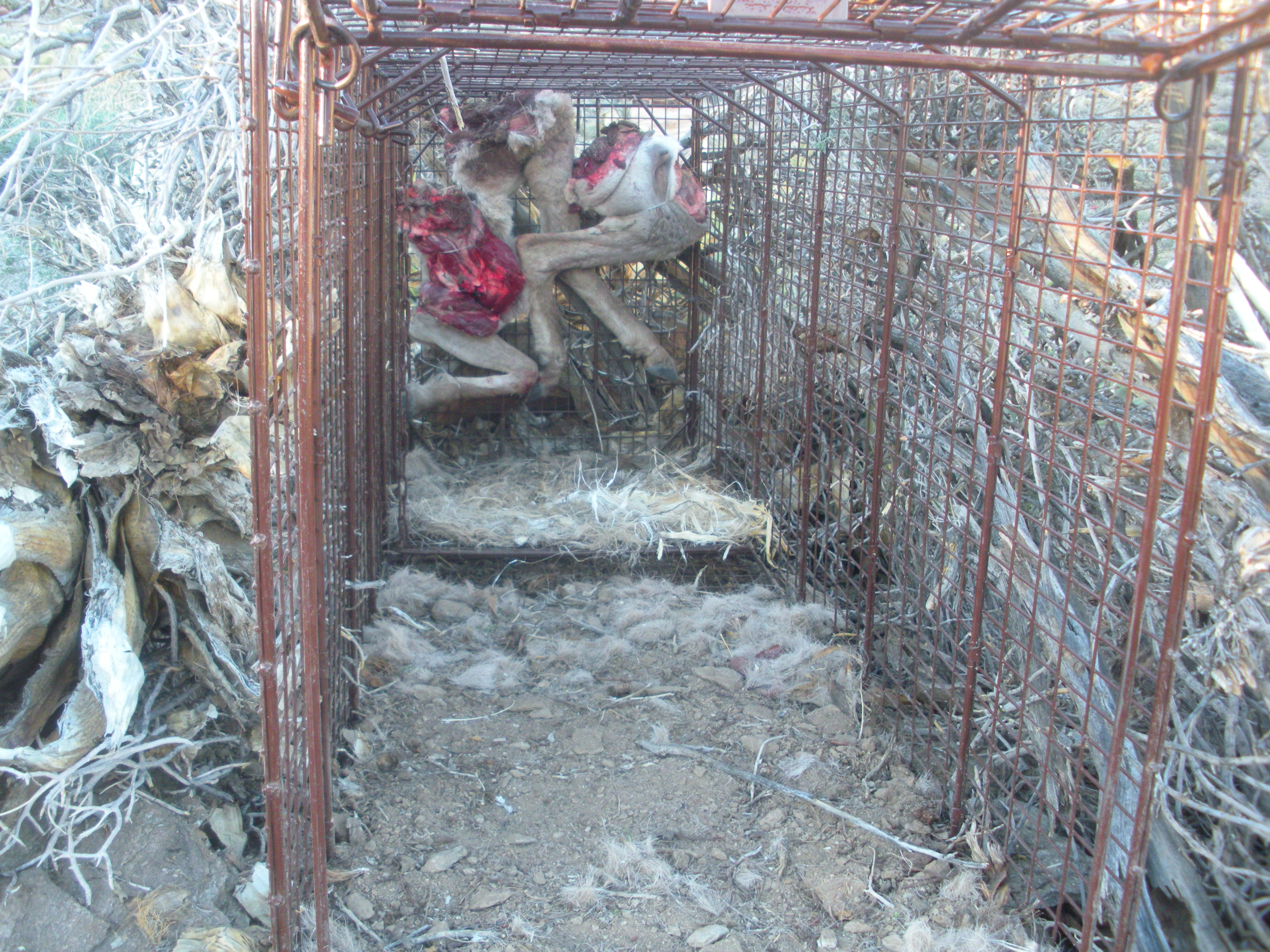 Build Deer Trap http://naturalskills.wordpress.com/2011/02/03/cougar-trappin/