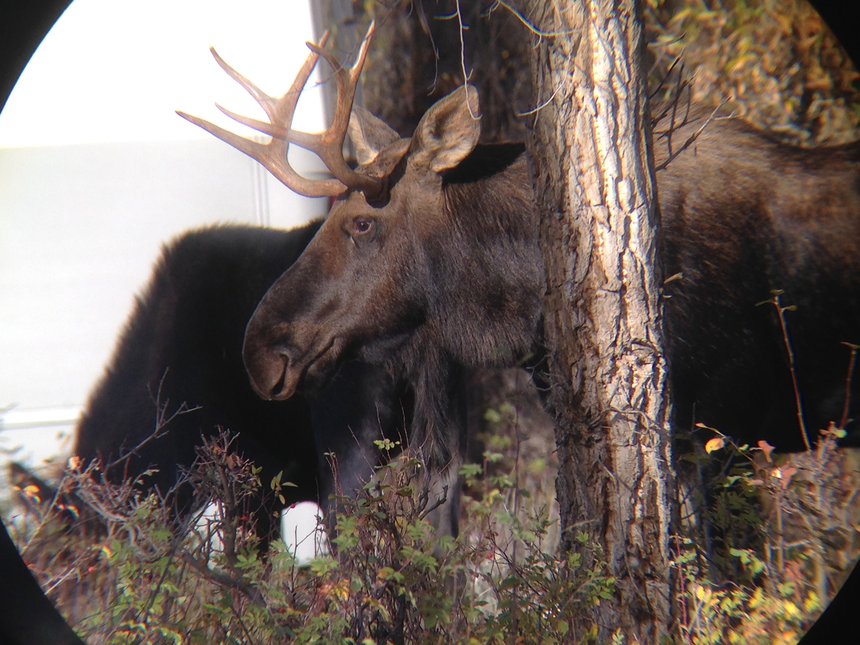 A Moose with Elk Antlers, Bear Sign and Woodpeckers Eating ...