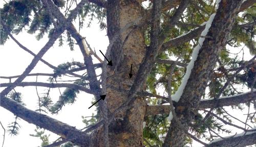 porkysignintree